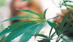 Mezinárodní gang pašoval marihuanu. Češi zabavili v Brně 45 kilogramů drogy
