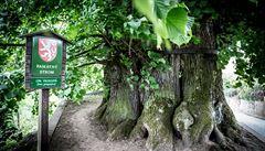 Česká lípa bojuje o titul Evropský strom roku. Úhlavním nepřítelem je maďarský dub