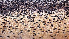 V USA záhadně uhynuly statisíce ptáků. Chovali se divně, v nevídaných počtech je srážela auta
