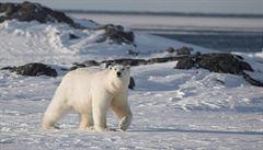 Zeptali jsme se: Opravdu jsou játra ledních medvědů jedovatá?