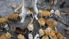 'Kočičí ostrov' Aošima zachráněn. Krmení hladovým kočkám posílá celé Japonsko