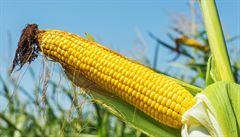 Šlechtěním z plodin zmizely důležité vlastnosti, přiznali vědci