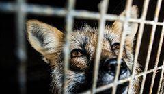 Zvířata byla usmrcena už před zákazem, tvrdí kožešinové farmy. Inspektoři zahájili kontroly