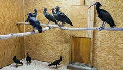 Dobří ibisové se vracejí? V pražské zoo ulovili desátého uprchlíka