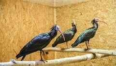 Do zoo se vrátil jedenáctý ibis z osmnácti. Doletěl 23 kilometrů do Říčan