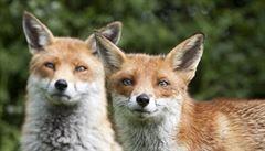 Toulavé lišky roztrhaly tučňáky a pelikány, kolínská zoo neví co s tím