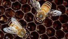 Hniloba včelího plodu po dvaceti letech v Česku. Nakažená včelstva byla spálena