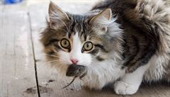 Přinesla vám kočka myš? Odměňte ji, ale nenechte ji myš sežrat