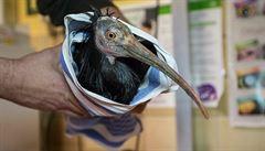 Končí hon na ibisy z pražské zoo. Posledního chytili v Řeporyjích