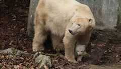 Brněnská zoo láká na lední medvídě. Návštěvníci ho mohou vidět od pátku