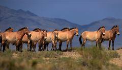 Kůň Převalského se vrací do volné přírody i v Rusku