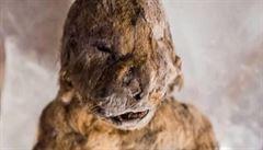 Ruští vědci našli v permafrostu 12 tisíc let zamrzlé štěně