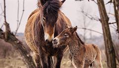Stádo divokých koní v Milovicích se rozrůstá. Narodilo se druhé letošní hříbě