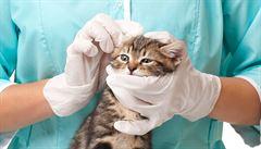 Klepání hlavou, škrábání uší. Jak poznat ušní polypy u kočky?