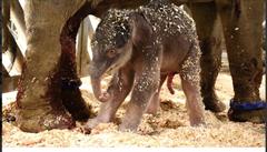 Návštěvníkům pražské zoo se narozené slůně ukáže od čtvrtka