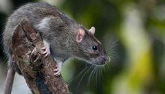 Pákistán ohrožují obří potkani. Napadli několik dětí