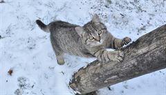Změny chování či agresivita. Jak poznáte, že kočku bolí klouby?