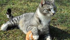 Kočku má doma každá třetí rodina. Většinou jde o křížence