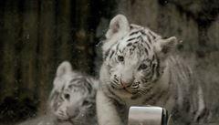 Liberecká zoo zveřejnila první snímky tygřích mláďat