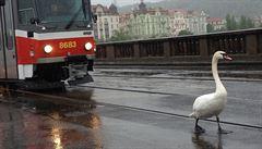Labutím v Praze ubližují troleje i ohňostroje. Zachranná stanice jich ošetří stovku ročně