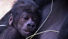 V pražské zoo se nečekaně narodilo gorilí mládě. Zázrak, říká ředitel Bobek