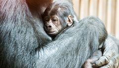 Nečekaně narozené gorilí mládě mohou návštěvníci zoo již vidět