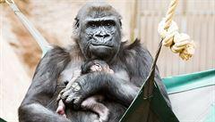 Těhotenství gorily jsme nemohli odhalit, je to souhra náhod, říká ředitel pražské zoo