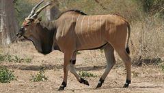 Sledujte záchranu antilopy Derbyho v přímém přenosu