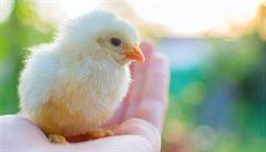 Kuřata vnímají čísla podobně jako lidi, ukázal výzkum