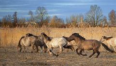 Ekology rozhořčily plány na vybíjení divokých koní v Austrálii