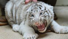 Liberecká mláďata bílých tygrů absolvovala očkování