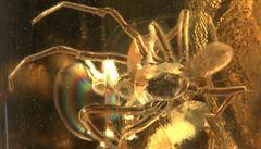 Roztoč si osedlal pavouka, odhalil jantar