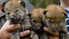 Zoo v Brně se rozrostla o devět mláďat vlka arktického