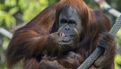 V chicagské zoo zemřela druhá nejstarší známá samice orangutana Maggie