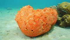 U Havaje našli vědci největší mořskou houbu na světě