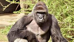 'Tišící prostředek by nezabral.' Zabití gorily v americké zoo vyvolalo rozhořčení