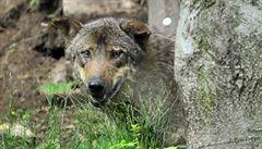 Tříletou dívku v olomoucké zoo pokousal vlk, přes varování se přiblížila k hrazení