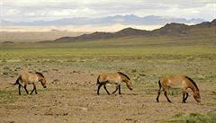 Sen malých jezdců v Mongolsku může končit zmrzačením