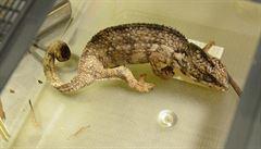Celníci zadrželi na letišti muže pašujícího 221 chameleonů a 15 gekonů