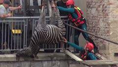Z cirkusu Berousek utekly dvě zebry, jedna se utopila