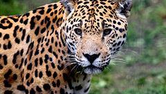 Nápoj, který vás promění v jaguára. Halucinogen láká do Peru turisty