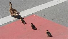Kachna si s mláďaty vyrazila na výlet do centra města. Zachránili je strážníci