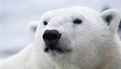 Lední medvědi se zmenšují, doplácí na znečištěné prostředí