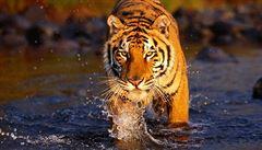 Pokud se nestane nic razantního, tygři brzy vyhynou, tvrdí vědci