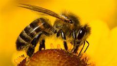 Divoké včely v ohrožení. Klíčového tvora pro lidstvo ničí průmysl v zemědělství