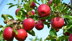 Zeptali jsme se vědců: Může na jednom stromě růst jablko a hruška?