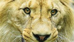Do brněnské zoo se po 14 letech vracejí lvi, přijede lvice Kivu