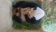 Ve vídeňské ZOO se narodila roztomilá mláďata pandy velké