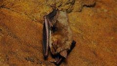 Čeští vědci: Za úhyn netopýrů v Severní Americe může vitamin B2