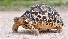 Američtí vědci pojmenovali po Obamovi želvího parazita